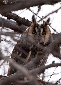 Long-eared Owl (Asio otus)                                                                                                                                                                                 Mais