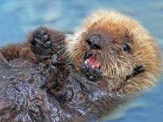 "sea otter- ""adopt"" through http://www.marinemammalcenter.org"