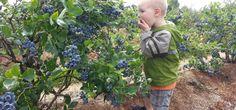 Как правильно посадить голубику на садовом участке?