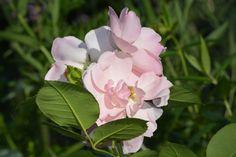 Astrid Lindgren – ruusu | Vesan viherpiperryskuvat – puutarha kukkii