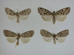 New Species of Moth Named for Cherokees
