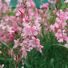 Gaura lindheimeri, deciduous, white or pink flowers in summer, 2-3 ft., drought resistant, USDA zones 5 - 9.