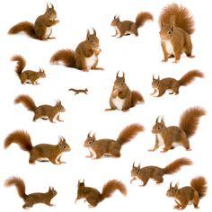 Клипарт Squirrel Белка на прозрачном фоне. Обсуждение на LiveInternet - Российский Сервис Онлайн-Дневников