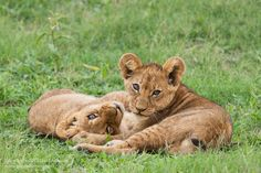A pair of curious lion cubs pause from their play session in the Okavango Delta, Botswana by Grant Atkinson/Atkinson Photography and Safaris...