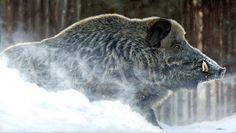 peinture-sanglier-wildboar-painting Hog Pig, Art Sur Toile, Hunting Art, Wild Boar, Wildlife Art, Brown Bear, Pet Portraits, Animal Kingdom, Animals Beautiful