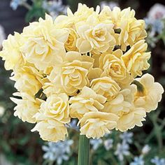 "Spring Cheer Daffodil - Bloom Time: Early to Mid Spring Size: 13+ cm bulbs Zones: 3 to 8 Height: 10-12"" Botanical Name: Narcissus double Erlicheer Form: Perennial Hardiness Blooms: Early - Mid Spring Light Requirements: Full Sun;Half Sun / Half Shade Height: 10-12"" Spread: Under 6 inches Planting Instructions: 6"" deep and 4 - 6"" apart Soil Requirements: Well drained Will Tolerate: Clay Soil"