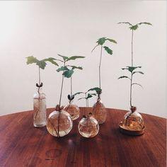 Josefin Bergman.   plocka ekollon som fått en grodd, sätt i vatten eller direkt i kruka med jord och rätt som det är så kommer det snart fina ekblad ☺️