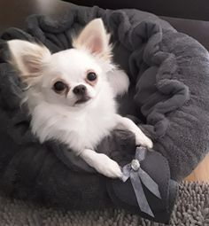 Tiny Puppies, Puppies And Kitties, Cute Puppies, Doggies, Cute Chihuahua, Chihuahua Puppies, Chihuahuas, Mini Dogs, Cute Funny Animals