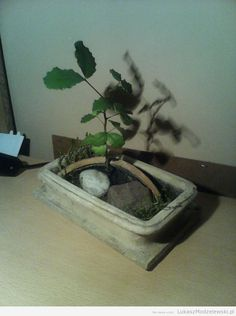 Carob tree - Ceratonia siliqua - 2 years old, from the seed ^^ #bonsai #carobTree #ceratoniaSiliqua