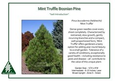 Pinus-leucodermis-MintTruffle