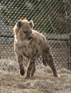 Hyena - grr