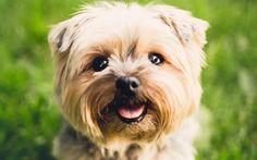 Lataa kuva Yorkshirenterrieri, koirat, kuono, söpöjä eläimiä, hauskoja eläimiä