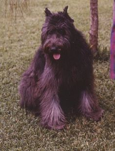 Bouvier des Flanders.. Love fluffy dogs!