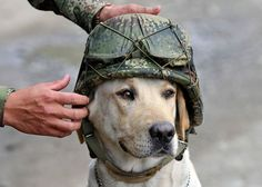 A soldier places his helmet on Timothy, an army explosive sniffer dog