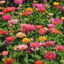 The Dirty Gardener California Giant Zinnia Elegans Flower Mix - 1 Pound, Purple