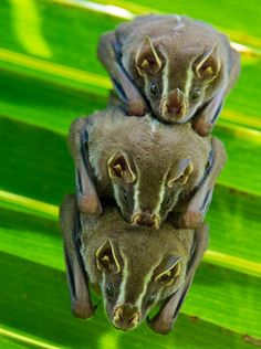 three striped yellow-eared bats huddle together in a palm tree. Achiote, Panama