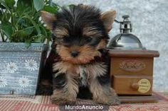 yorkshire terrier toy - Buscar con Google