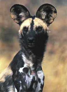 African Wild Dog. I loved these when I was a kid. Still think they're gorgeous.
