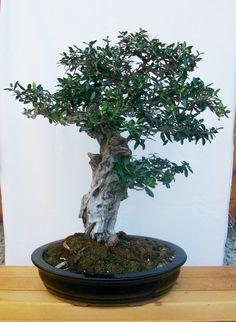 Bonsai di olivo, collezione privata