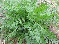.:Lepidium virginicum -  Mastruz, mentruz, mastruço.