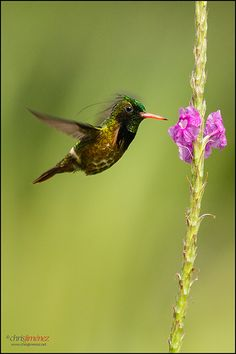 Hummingbird - Black-crested Coquette (Lophornis helenae) feeding from flowers…