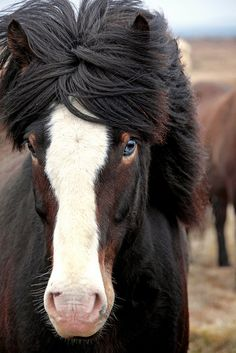 Icelandic horse. Her right eye was a normal brown color but her left eye was a striking light blue.