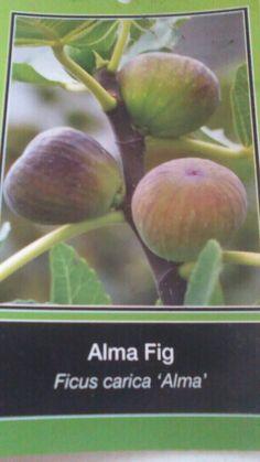 Image result for celeste fig