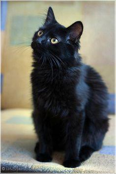Scooby, black kitten