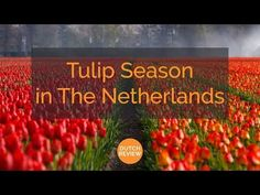Tulip Season in The Netherlands Holland Cities, Visit Holland, Holland Beach, Tulip Season, Tulip Fields, Time Of The Year, Amazing Flowers, Where To Go, Tulips