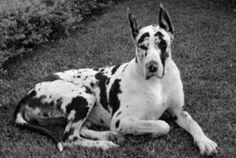 Dinamarquês (Dog Alemão)