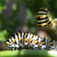 Black Swallowtail Caterpillars together