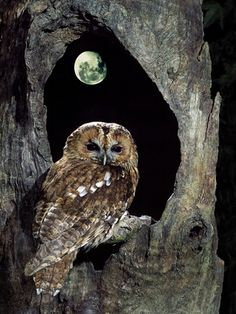 Tawny Owl Perched in Tree Below Nearly Full Moon Stampa fotografica
