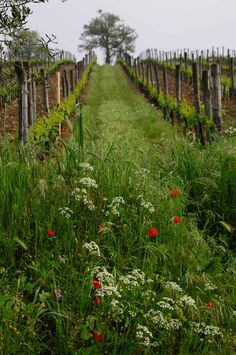 Vineyard in Chianti, Italy  (Photo by M. Madigan)