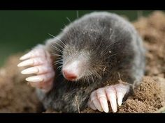 How to Get Rid of Moles - YouTube