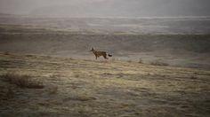 Abyssinie, l'appel du loup... Vincent Munier, photographe, et Laurent Joffrion, réalisateur, ont tourné ce film en début d'année sur les hauts plateaux éthiopiens. Des images tournées exclusivement avec le Nikon D4. Une production Bonne Pioche. Première diffusion le 9 septembre 2012, à 16h, sur France 2...