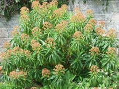 Euphorbia mellifera AGM