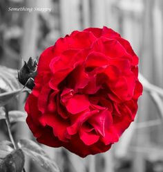 Pop of colour. Red rose