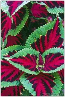 www.learn2grow.com gardeningguides annuals basics ~ media articles 2009 06 02 ColeusCloseup_225x338.ashx