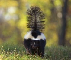 Learn how both your and your pets can avoid skunks and discover the the surprising way to get rid of that smell if you or your dog or cat does get sprayed.