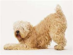 Classic Wheaten bowing!