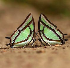 Great Nawab Butterfly: Polyura eudamippus