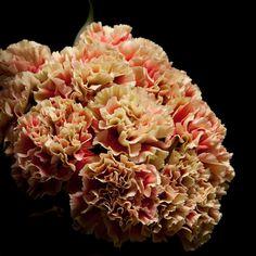 Certi Dianthus Epoque, boeket, bloemen, oranje, Certi #Bloemen, #Planten, #webshop, #online bestellen, #rozen, #kamerplanten, #tuinplanten, #bloeiende planten, #snijbloemen, #boeketten, #verzorgingsproducten, #orchideeën