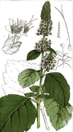 Patchouli plant - another natural botanical ingredient in Ogario Hydrate & Shine Shampoo #art