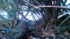 Musträstas / Common blackbird (Turdus merula)   www.flickr.c…   Flickr Blackbird, Owl, Animals, Animales, Animaux, Owls, Animal, Animais