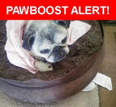 Is this your lost pet? Found in Sunol, CA 94586. Please spread the word so we can find the owner!  Older fawn pug  Nearest Address: Near Sheridan Road, Sunol, CA