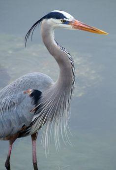 Great Blue Heron  (photo by fail avenger) by carter flynn