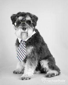 Bossman (Miniature Schnauzer) - Bossman is working on secret dogs business. (pic by Rachael Hale)