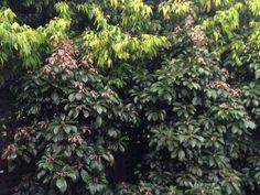 Elaeocarpus eumundi for planting behind pool Garden Plants, Garden Design, Planting, Gardening, Tropical, Nursery, Places, Image, Street