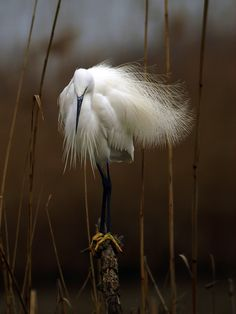 Snowy Egret in the Wind