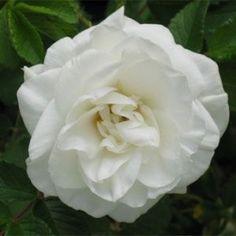 Top Quality Roses Marie Bugnet Over 270 Varieties of Roses